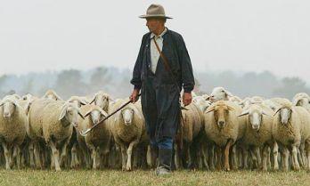 Image result for shepherding sheep