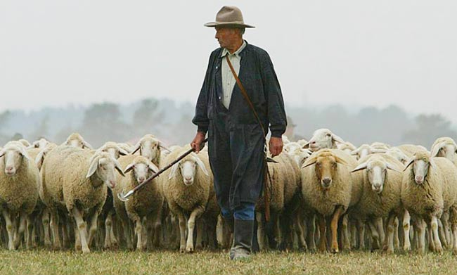 Image result for shepherding sheep